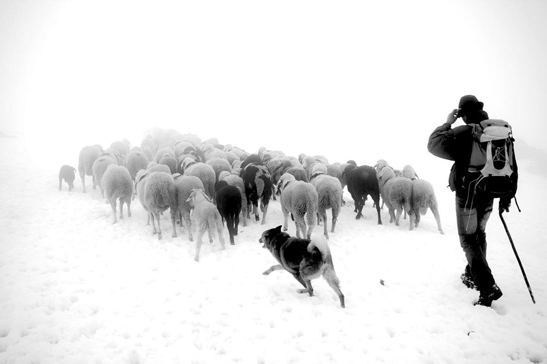 Val Senales, Sheep, transhumance, glacier, Stefano Torrione